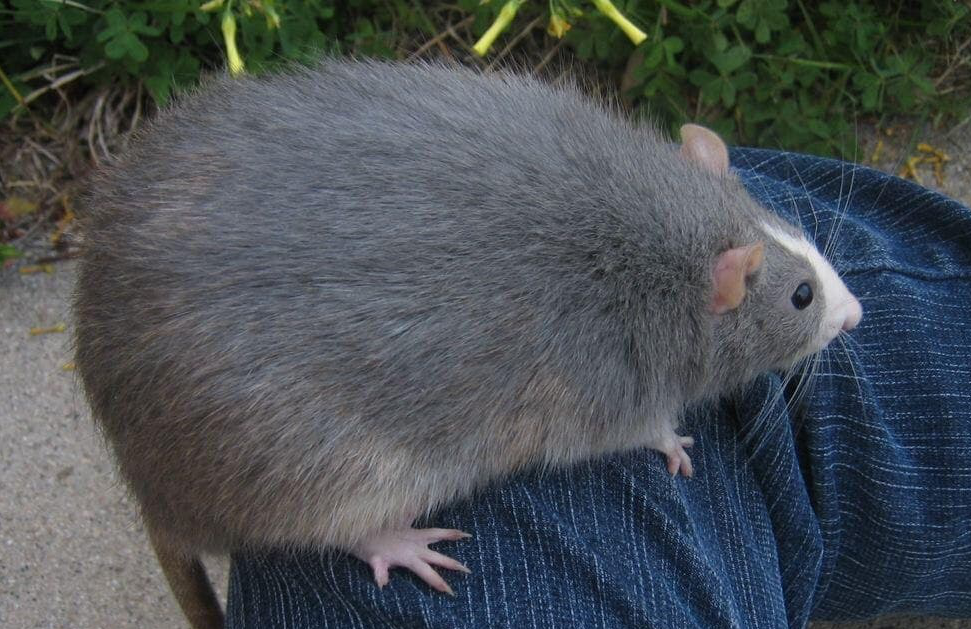 An image of a rat sitting on a man's leg.